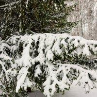 Ветка ели в снегу :: Сергей Царёв