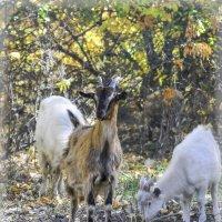 Фотограф, ну и задай себе вопрос, кто из нас козел? Вечно ты мешаешь. :: Андрей Верин
