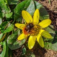 первая пчелка :: жанна janna