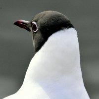 Озёрная чайка с Большого пруда - 2 :: Сергей