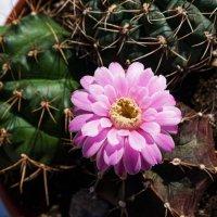Первый кактус, зацветший в этом году после зимней спячки :: Николай Зиновьев