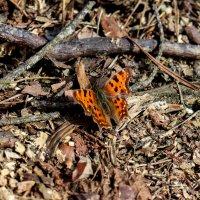 Бабочка :: Сергей Зайцев