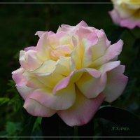 Роза. :: АНДРЕЙ ЕСЕНИН