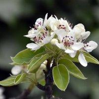 Груша цветет :: yusuf alili