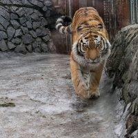 тигр :: Laryan1