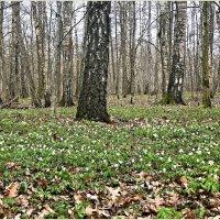 Весна в лесу. :: Валерия Комова