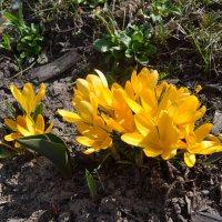 Крокусы -зто тюльпаны и лилии в миниатюре.. :: zoja