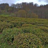 Чайные плантации :: Tata Wolf