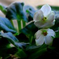 Фиалка  Первые цветы :: олег свирский