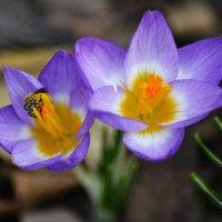 Первые цветы и первые работяги.... :: Михаил Болдырев