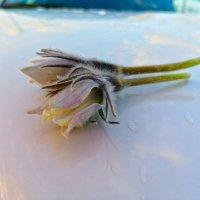 Первые цветы :: Лариса Корсакова