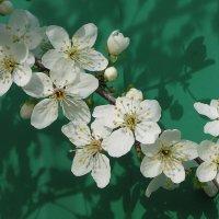 Красота весенняя... сливовая) :: Тамара Бедай