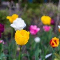 Весна. Тюльпаны! :: Алексей Кузьмичев