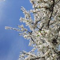 Алыча цветёт :: Dimos Izgor