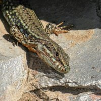 Сегодня маленькая ящерка выглезла на солнышко. но ужасно пугливая :: igor G.