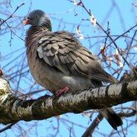 Лесной голубь :: Андрей Снегерёв