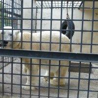 Белый медведь :: Наиля