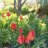 Утренние тюльпаны :: Наталья