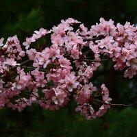 В Японском саду расцвела сакура !! :: Николай Кондаков