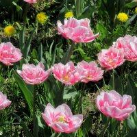 Махровые тюльпаны :: Нина Бутко