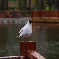 Чайка. :: Александр Романов