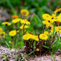 Любимые придорожные цветы  6 мая :: олег свирский