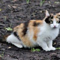 У кошки трехцветной одна лишь мечта: Трехцветного милого встретить кота..... :: Восковых Анна Васильевна