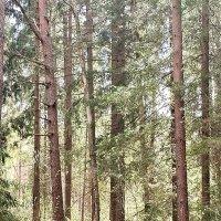 Майский лес, светом напоенный :: Евгения Куприянова