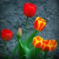 Пора тюльпанов... :: Владимир Шошин