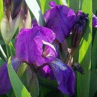 Ирисы летом :: Фотогруппа Весна-Вера,Саша,Натан