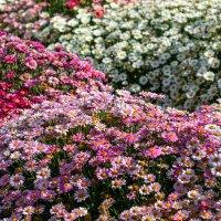 Ромашки в саду :: Lidiya Dmitrieva