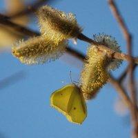 Желтое на желтом или Лимонница на вербе :: Владилен Панченко