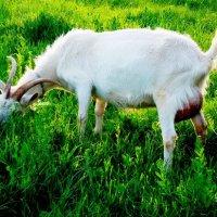 Прошла  - коза рогатая, бодатая!.. :: Евгений