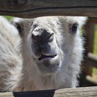 """Малыш верблюжонок в зоо """"12 Месяцев"""" :: Тамара Бедай"""