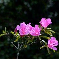 Цветы азалии :: Татьяна Тюменка