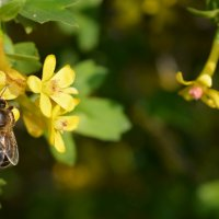 Пчёлка :: Наталья Дубровина