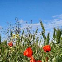 полевые цветы :: Маруся