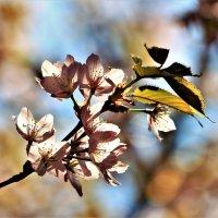 Цветение сакуры... :: Евгений Яхим