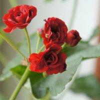 Соцветие герани розовидной :: сергей