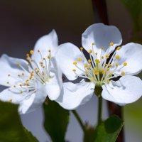 cherry blossoms :: Zinovi Seniak