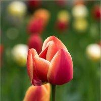Из жизни тюльпанов :: Влад Чуев