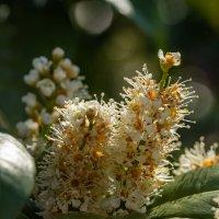 Лавровишня в цветении :: Николай Гирш