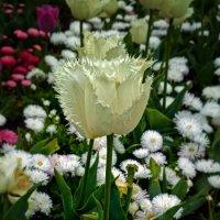 Тюльпаны :: east3 AZ