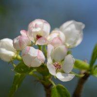 Яблоня цветёт :: Tim Andrews