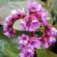Весенние цветы тайги. :: юрий Амосов