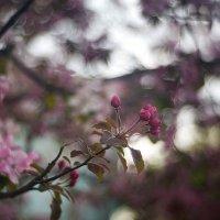Розовая весна :: sorovey Sol