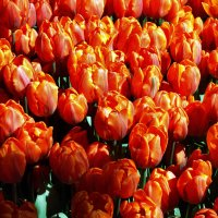 Пока ещё цветут тюльпаны... :: Ирина Румянцева