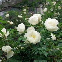 Белый шиповник :: Galina Solovova