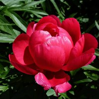 Красный пион :: Лидия Бусурина