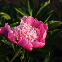 Цветок пиона. :: сергей